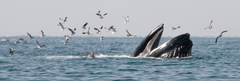 Feeding humpback