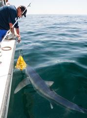 Blue shark wants chum bag