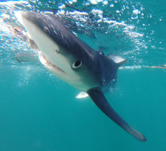 Blue shark approaching cage