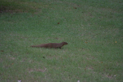 My first mongoose sighting