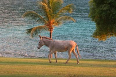Wild donkeys roam the island