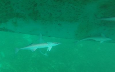 Sharks? We later figure out they are remoras