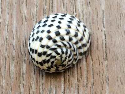 A very MacKenzie-Childs-looking shell (for you, Nannie!)