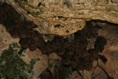 Clusters of bats hang, and occasionally fly, in the cave