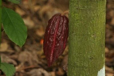 A cocoa pod, Hacienda Buena Vista, PR