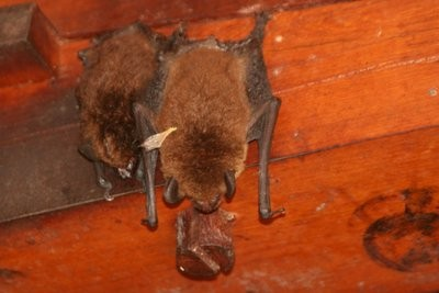 Bats hang in one of the buildings. They are so like stuffed animals I just want to poke one. Just once.