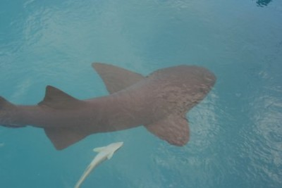 A nurse shark (and remora) in the marina