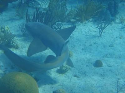 Shark #2