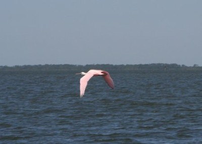 Looks like a flamingo but it's a roseate spoonbill