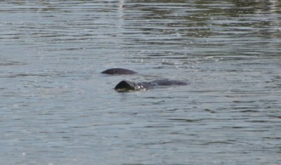 We see 6-8 manatees in the ICW